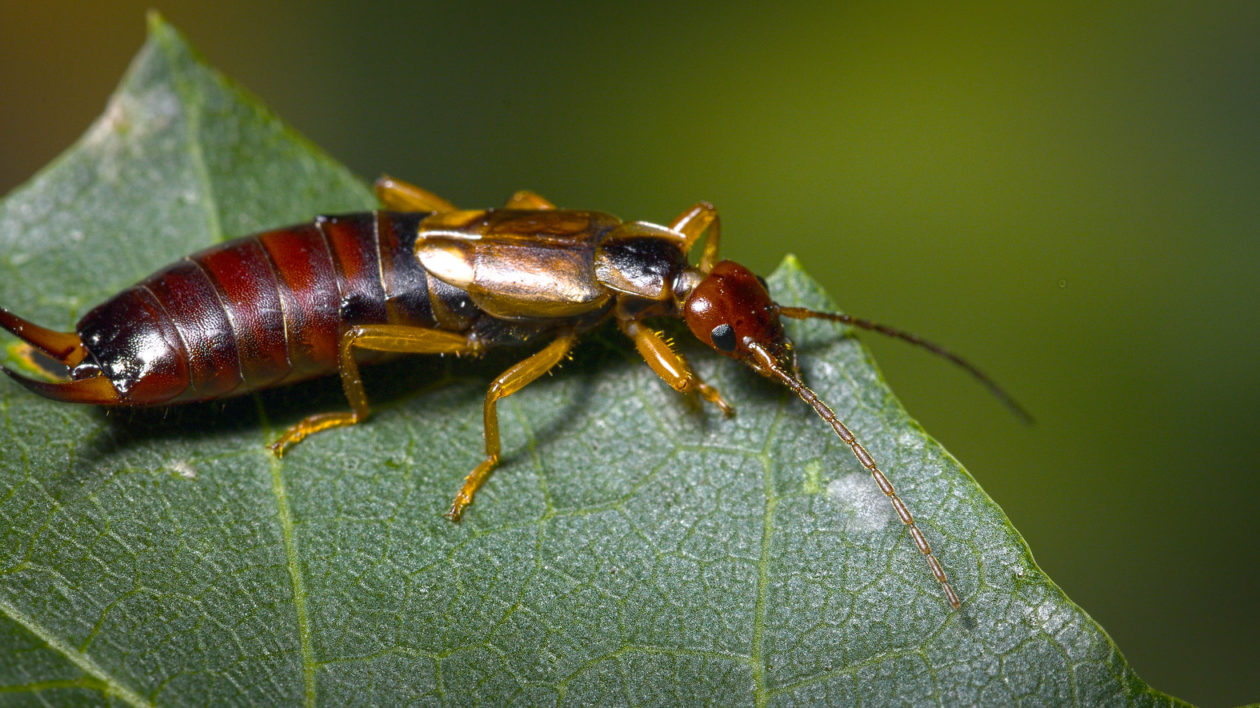 guidance for Kids: Earwig Facts for Students